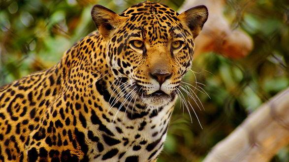 Обои Красивый грациозный леопард