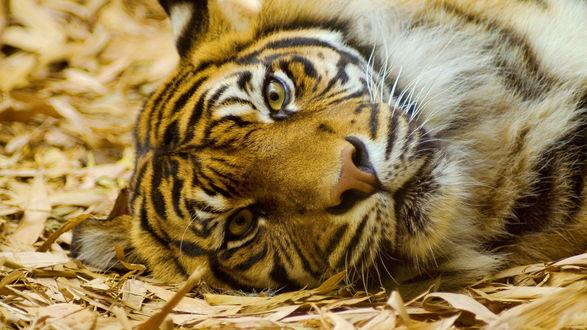 Обои Тигр отдыхает лежа на пожелтевших листьях и траве