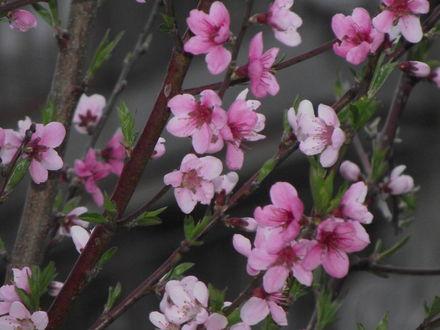 Обои Цветущий персик