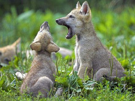 Обои Маленькие волчата на природе