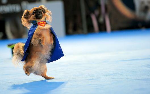Обои Super Dog - пекинес в костюме супермена идет на задних лапках