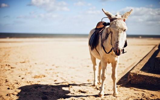 Обои Осел с седлом на песчаном пляже