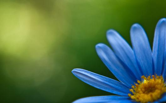 Обои Голубой цветок