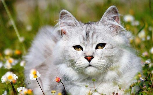 Обои Пушистый кот  на поляне среди цветов