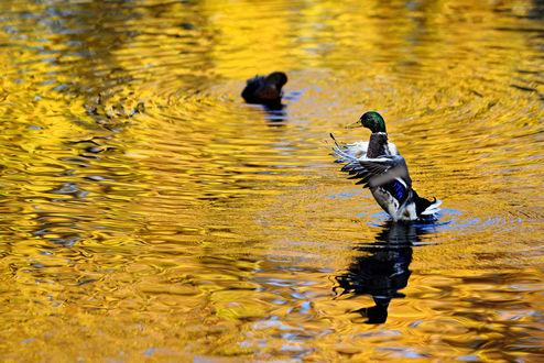 Обои Утка расправляет крылья на пруду, в котором отражается осенняя листва