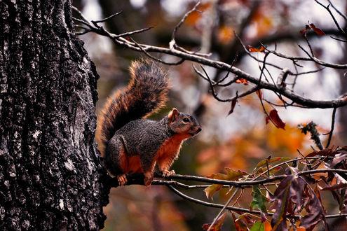 Обои Белочка, сидящая на ветке дерева  на фоне осенних листьев