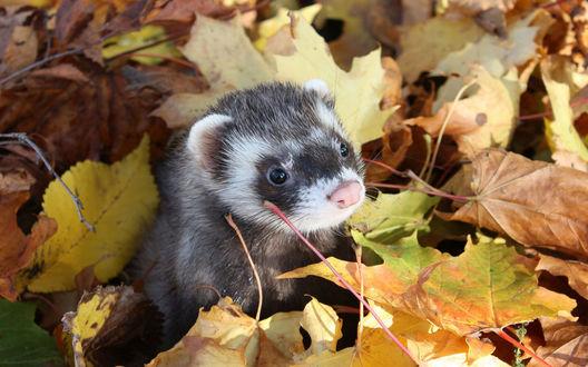 Обои Маленький хорек высунулся из-под осенних листьев