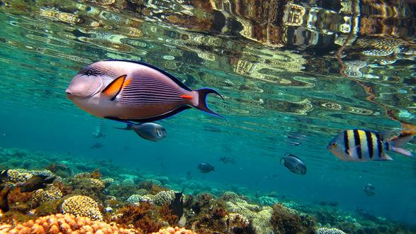 Обои Рыба-хирург в кристально-чистой воде Красного моря