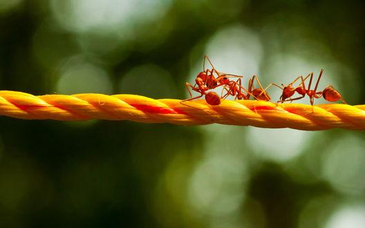 Обои Три красных муравья ползут по оранжевому шнурку, двое из них не поделили крошечку и пытаются друг друга столкнуть