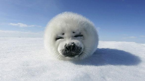 Обои Маленький забавный белый  тюлень зажмурил глаза и греется, лёжа на снегу под солнцем