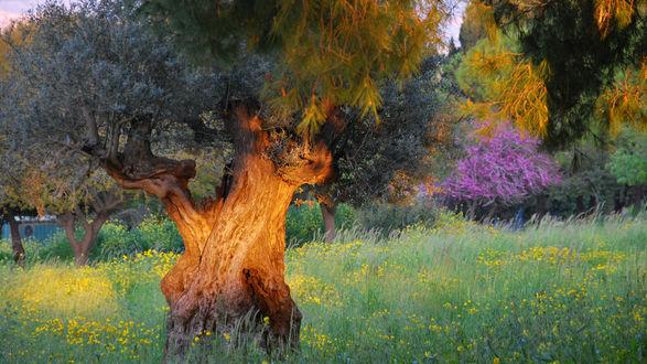 Обои Цветущая поляна и деревья на заднем плане на фоне старого, древнего дерева с толстым стволом