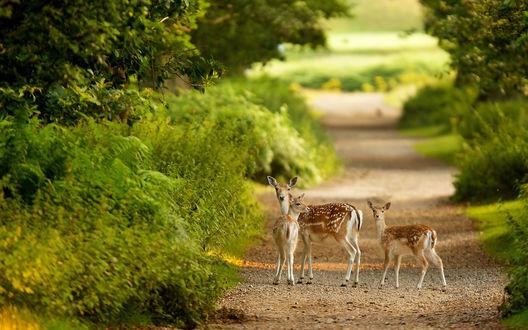 Обои Семейство из трех оленей вышло на дорогу