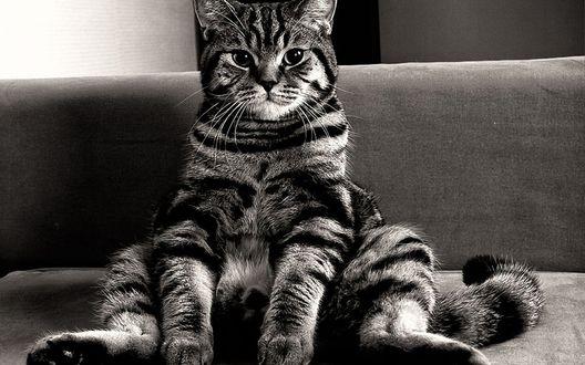 Обои Домашний кот очень внимательно рассматривает нас, вальяжно сидя на диване