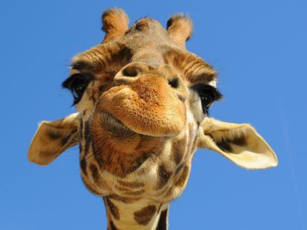 Обои Смешной жираф корчит морду в камеру