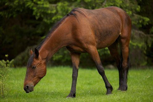 Обои Лошадь пасется на зеленой лужайке возле леса