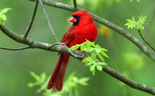 Обои Красный кардинал, сидящий на ветке дерева