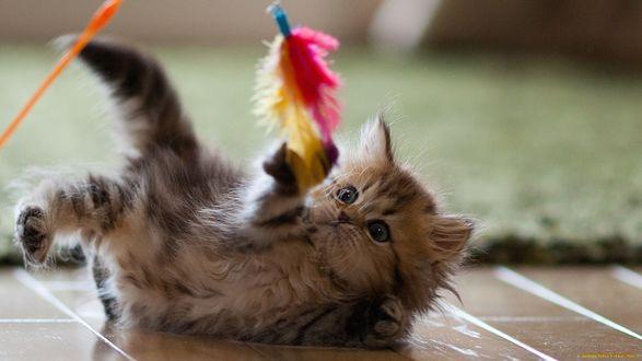 Обои Котенок Дейзи / Daisy играет с цветным перышком, фотограф Ben Torode