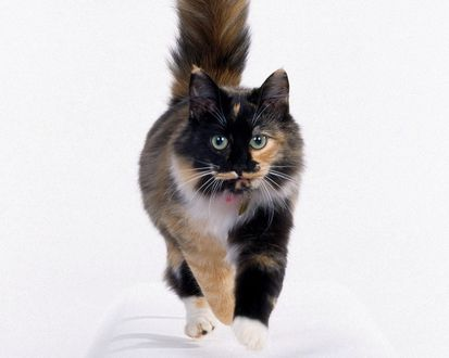 Обои Прикольная окраска кошки