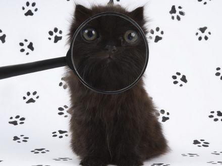 Обои Кот под увеличительным стеклом