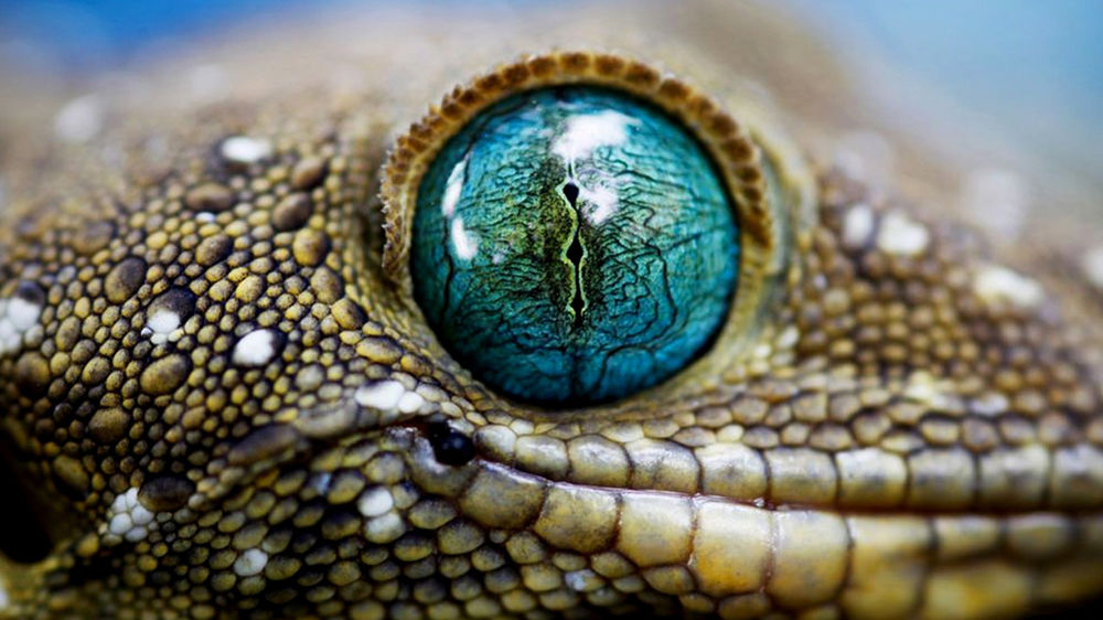 Обои для рабочего стола Голубоглазый гекон