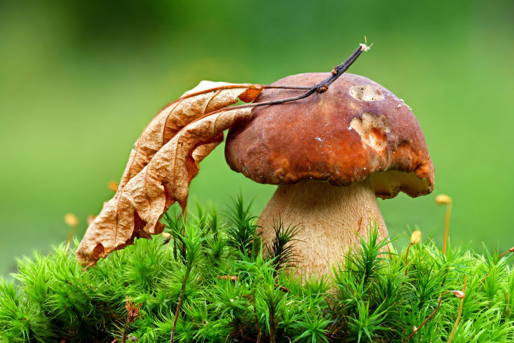 Обои для рабочего стола Засохший лист на шляпке гриба