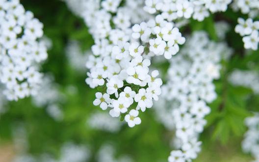 Обои Ветви белых цветов