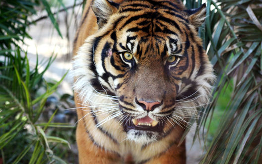 Обои Тигр в зарослях джунглей