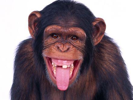Обои Обезьяна показывает язык, зубы ее выглядят как у заправского курильщика