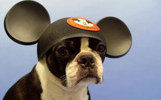 Обои На бульдоге одета шапка Микки Мауса / Mickey Mouse с большими ушами