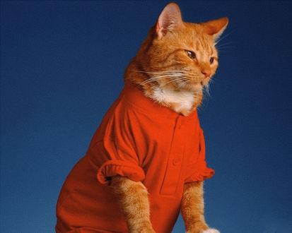Обои Домашняя кошка в одежке