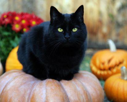 Обои Черная кошка на тыкве
