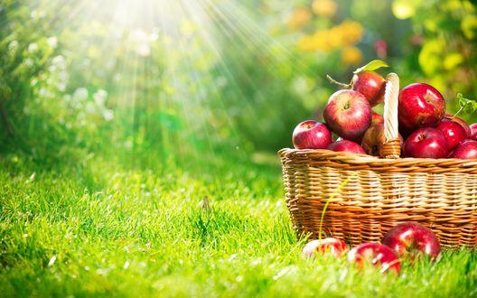 Обои Плетеная корзинка с красными яблоками стоит на зеленой лужайке, освещаемой проходящими через зеленую листву лучами солнца