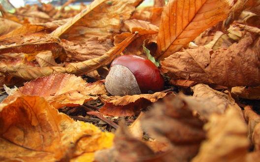 Обои Каштан лежит среди желтых осенних листьев