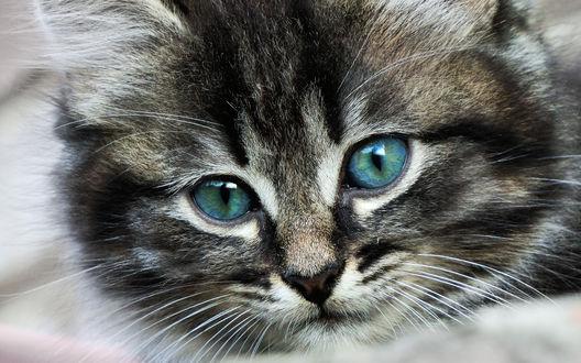 Обои Мордочка серого котенка с зелеными глазами