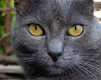Обои Серая морда и жёлтые глаза кошки
