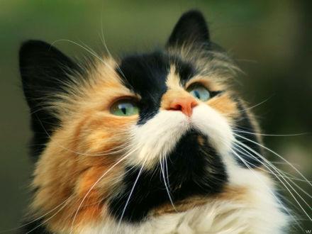 Обои Очень красивая кошка, очень красивый окрас