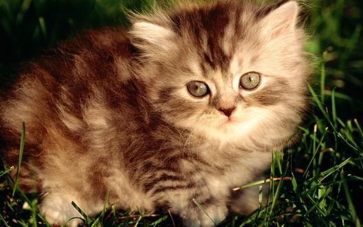 Обои Милый пушистый котенок в траве