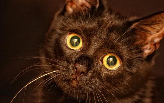 Обои Черный котенок, у которого даже нос черный, глаза - единственные светлые пятнышки