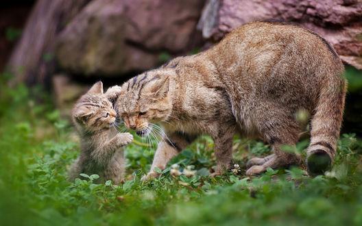 Обои Котенок играет со своей мамой