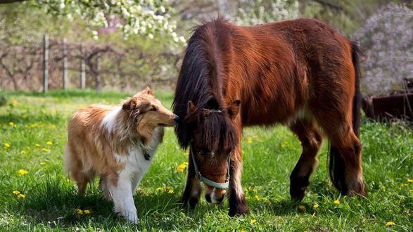 Обои На зеленой лужайке с желтыми  цветами мирно гуляют собака породы 'колли' и лошадка породы 'пони'