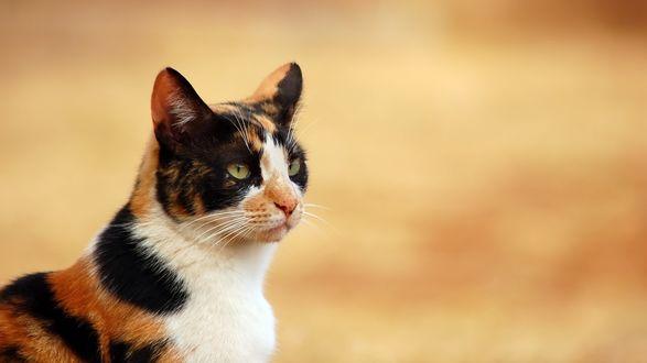 Обои Трехцветная кошка на светло-коричневом фоне