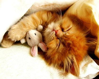 Обои Рыжий котенок спит обняв свою игрушку