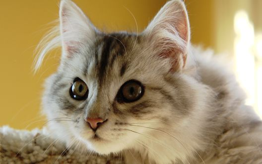 Обои Внимательный взгляд кота
