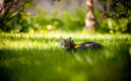 Обои Серый кот лежит в зеленой траве