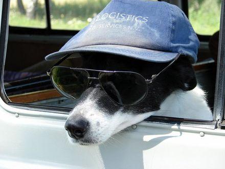 Обои Собака в синей кепке и темных, солнцезащитных очках, высунулась из окна легкового автомобиля