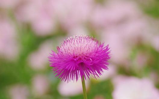 Обои Ярко-малиновый цветок