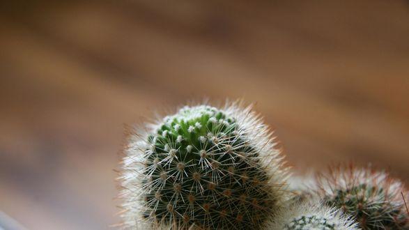Обои Колючий кактус на коричневом фоне