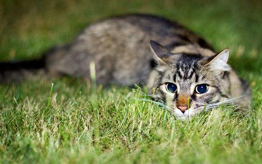 Обои Серый кот притаился в траве