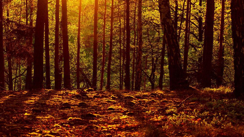 Обои для рабочего стола Осенний сосновый лес на закате смотрится по настоящему ярко