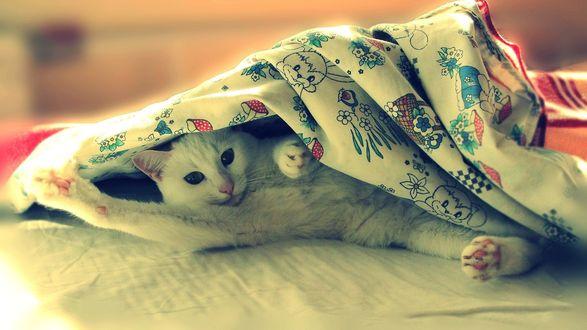 Обои Белый кот шкодливо выглядывает из-под одеяла